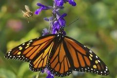Πεταλούδα μοναρχών και μέλισσα μελιού στοκ εικόνα