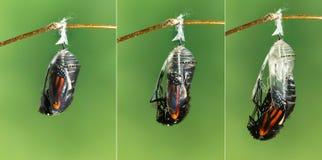 Πεταλούδα μοναρχών που προκύπτει από τη χρυσαλίδα στην πεταλούδα στοκ φωτογραφίες