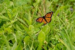 Πεταλούδα μοναρχών που στηρίζεται στη λεπίδα της χλόης στον ήλιο στοκ εικόνες
