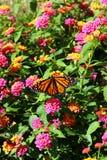 Πεταλούδα μοναρχών σε ένα λουλούδι στοκ εικόνες
