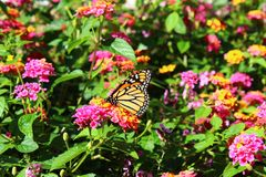 Πεταλούδα μοναρχών σε ένα λουλούδι Στοκ εικόνα με δικαίωμα ελεύθερης χρήσης