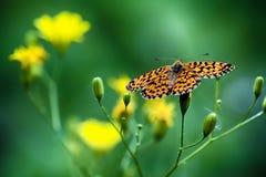 Πεταλούδα μοναρχών στο κίτρινο λουλούδι Στοκ Εικόνα