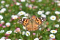 Πεταλούδα μοναρχών στο κρεβάτι λουλουδιών στοκ φωτογραφία με δικαίωμα ελεύθερης χρήσης