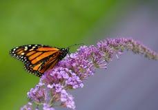 Πεταλούδα μοναρχών στο πορφυρό λουλούδι θάμνων πεταλούδων Στοκ Φωτογραφίες