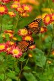 Πεταλούδα μοναρχών Στοκ Φωτογραφίες