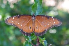 Πεταλούδα μοναρχών στοκ φωτογραφία με δικαίωμα ελεύθερης χρήσης