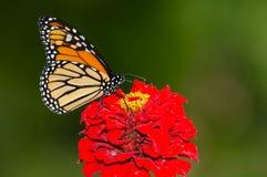 Πεταλούδα μοναρχών στοκ εικόνα με δικαίωμα ελεύθερης χρήσης