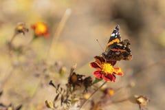 Πεταλούδα μοναρχών Marigold στο λουλούδι στοκ εικόνα