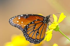 Πεταλούδα μοναρχών, plexippus Danaus Στοκ Εικόνα