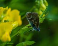 Πεταλούδα μπουκλών Στοκ φωτογραφίες με δικαίωμα ελεύθερης χρήσης
