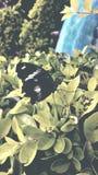 Πεταλούδα μυγών μυγών Στοκ Φωτογραφία