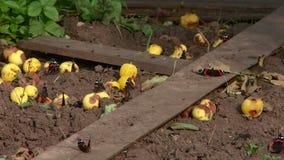 Πεταλούδα ναυάρχων στα κίτρινα λουλούδια το καλοκαίρι απόθεμα βίντεο