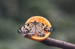 Πεταλούδα - νύμφη δέντρων στοκ εικόνες