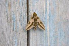 πεταλούδα νύχτας στοκ εικόνες