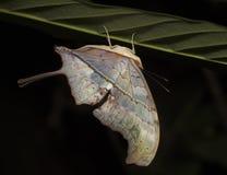 πεταλούδα Περού ανάποδο Στοκ Φωτογραφία