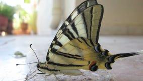Πεταλούδα που έχει μια σιέστα 3 απόθεμα βίντεο