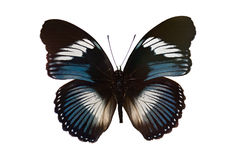 Πεταλούδα που απομονώνεται στην άσπρη ανασκόπηση Στοκ Εικόνες