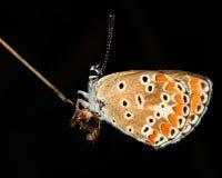Πεταλούδα που απομονώνεται στη μαύρη μακροεντολή bacrground στοκ εικόνες