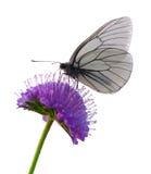 πεταλούδα που απομονών&epsilo Στοκ Φωτογραφία