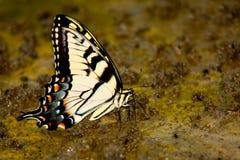 πεταλούδα που πίνει επίγειο λασπώδη κίτρινο Στοκ εικόνα με δικαίωμα ελεύθερης χρήσης