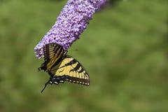 Πεταλούδα που στηρίζεται σε ένα ανθίζοντας φυτό Στοκ εικόνες με δικαίωμα ελεύθερης χρήσης