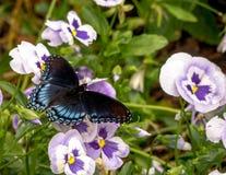 Πεταλούδα που στηρίζεται σε Pansies στοκ φωτογραφία με δικαίωμα ελεύθερης χρήσης
