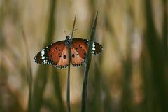 Πεταλούδα που στηρίζεται στη χλωρίδα στοκ εικόνες με δικαίωμα ελεύθερης χρήσης
