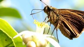 Πεταλούδα που τρώει τη γύρη του λουλουδιού λεμονιών απόθεμα βίντεο