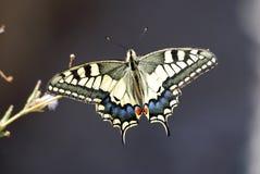 πεταλούδα που χρωματίζε στοκ εικόνα