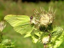 πεταλούδα πράσινη Στοκ Εικόνες