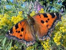 Πεταλούδα σε ένα ανθίζοντας λιβάδι Φτερά πεταλούδων Στοκ Εικόνες