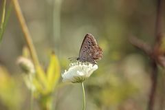Πεταλούδα σε ένα ανθίζοντας λουλούδι στοκ εικόνες