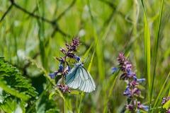Πεταλούδα σε ένα λουλούδι Η πεταλούδα κάθεται σε ένα ιώδες λουλούδι Η πεταλούδα συλλέγει τη γύρη από τα άγρια λουλούδια Στοκ Φωτογραφία
