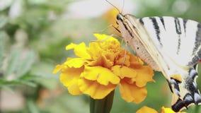 Πεταλούδα σε ένα λουλούδι Το έντομο συλλέγει και πίνει το μέλι νέκταρ από το κίτρινο κεφάλι λουλουδιών απόθεμα βίντεο