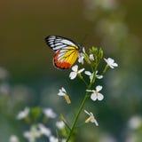 Πεταλούδα σε ένα λουλούδι Στοκ φωτογραφίες με δικαίωμα ελεύθερης χρήσης
