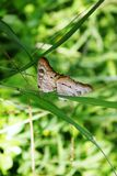 Πεταλούδα σε ένα φύλλο, νησί Roatan στοκ εικόνες