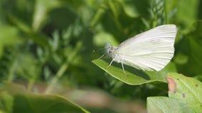 Πεταλούδα σε ένα φύλλο απόθεμα βίντεο