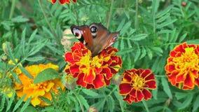 Πεταλούδα σε ένα flowe φιλμ μικρού μήκους