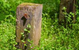 Πεταλούδα σε μια ξύλινη θέση Στοκ φωτογραφίες με δικαίωμα ελεύθερης χρήσης