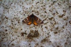 Πεταλούδα σκώρων νύχτας (σκώρος τιγρών, Arctiidae) Στοκ Εικόνες