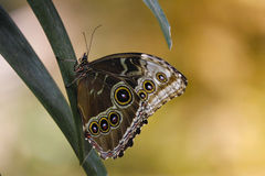 Πεταλούδα στα φύλλα Στοκ Εικόνες