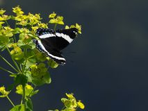 Πεταλούδα στα wildflowers στοκ εικόνα