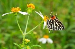 Πεταλούδα στο άσπρο λουλούδι Στοκ Φωτογραφίες