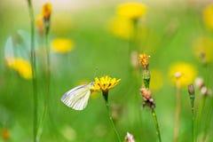Πεταλούδα στο κίτρινο λουλούδι στο λιβάδι Στοκ Εικόνες