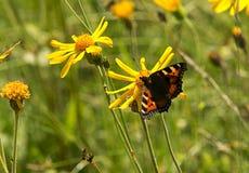 Πεταλούδα στο κίτρινο λουλούδι Στοκ εικόνες με δικαίωμα ελεύθερης χρήσης