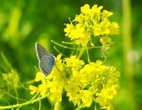 Πεταλούδα στο κίτρινο celandine λουλουδιών στοκ φωτογραφία με δικαίωμα ελεύθερης χρήσης