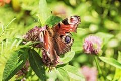Πεταλούδα στο λουλούδι τριφυλλιού στον ηλιόλουστο καιρό Στοκ Εικόνες