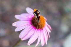 Πεταλούδα στο λουλούδι Στοκ Φωτογραφία