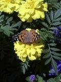 Πεταλούδα στο λουλούδι Στοκ Εικόνα