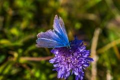 Πεταλούδα στο μπλε λουλούδι στοκ εικόνες με δικαίωμα ελεύθερης χρήσης
